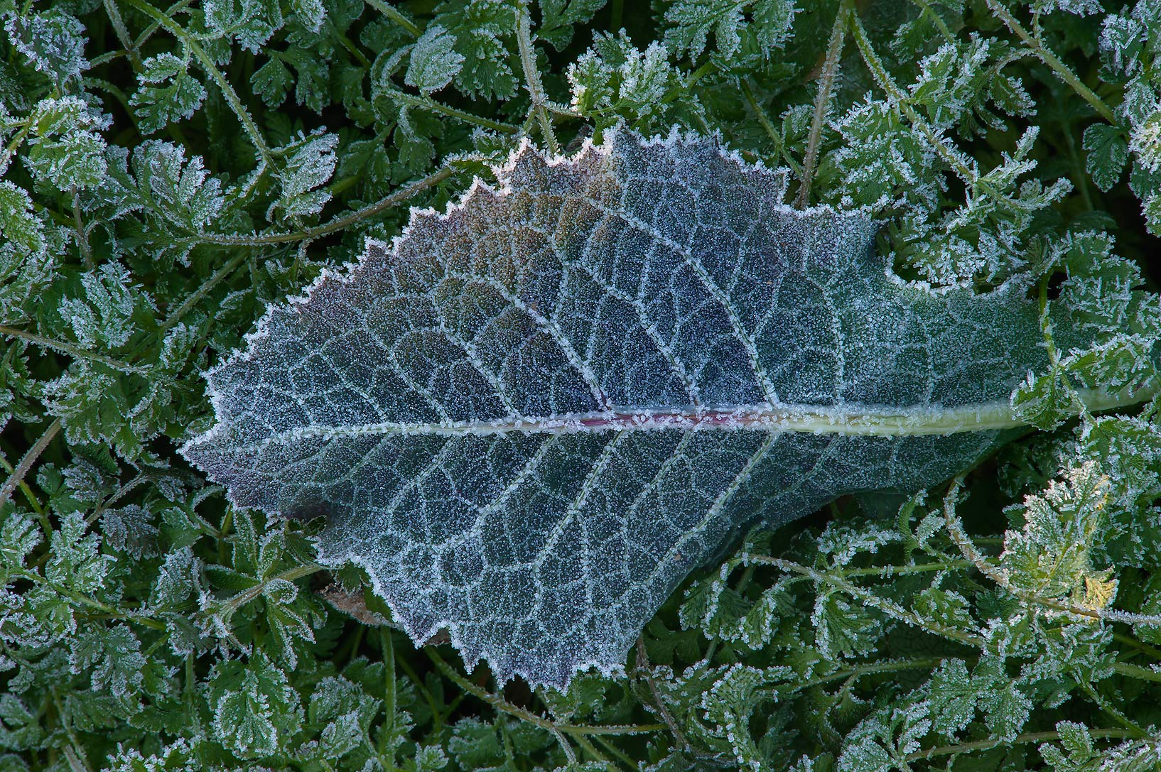 Leaf of sow thistle in freeze in TAMU...M University. College Station, Texas