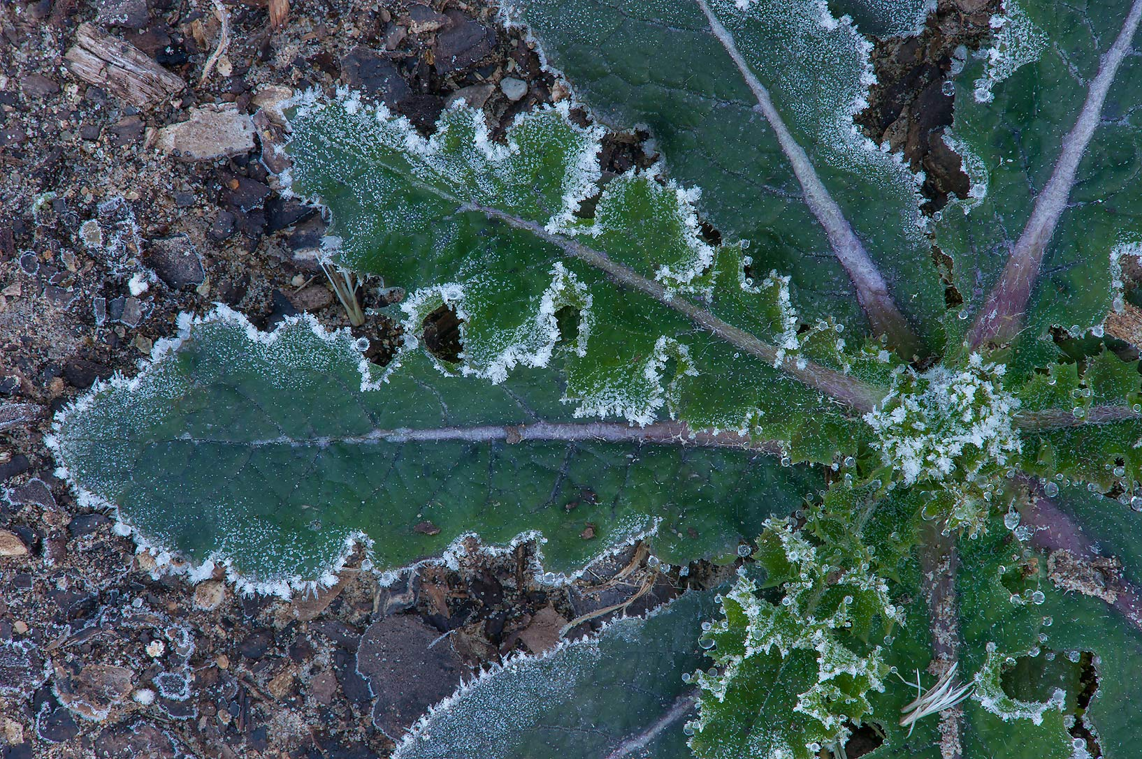 Sow thistle (Sonchus) in freeze in TAMU...M University. College Station, Texas