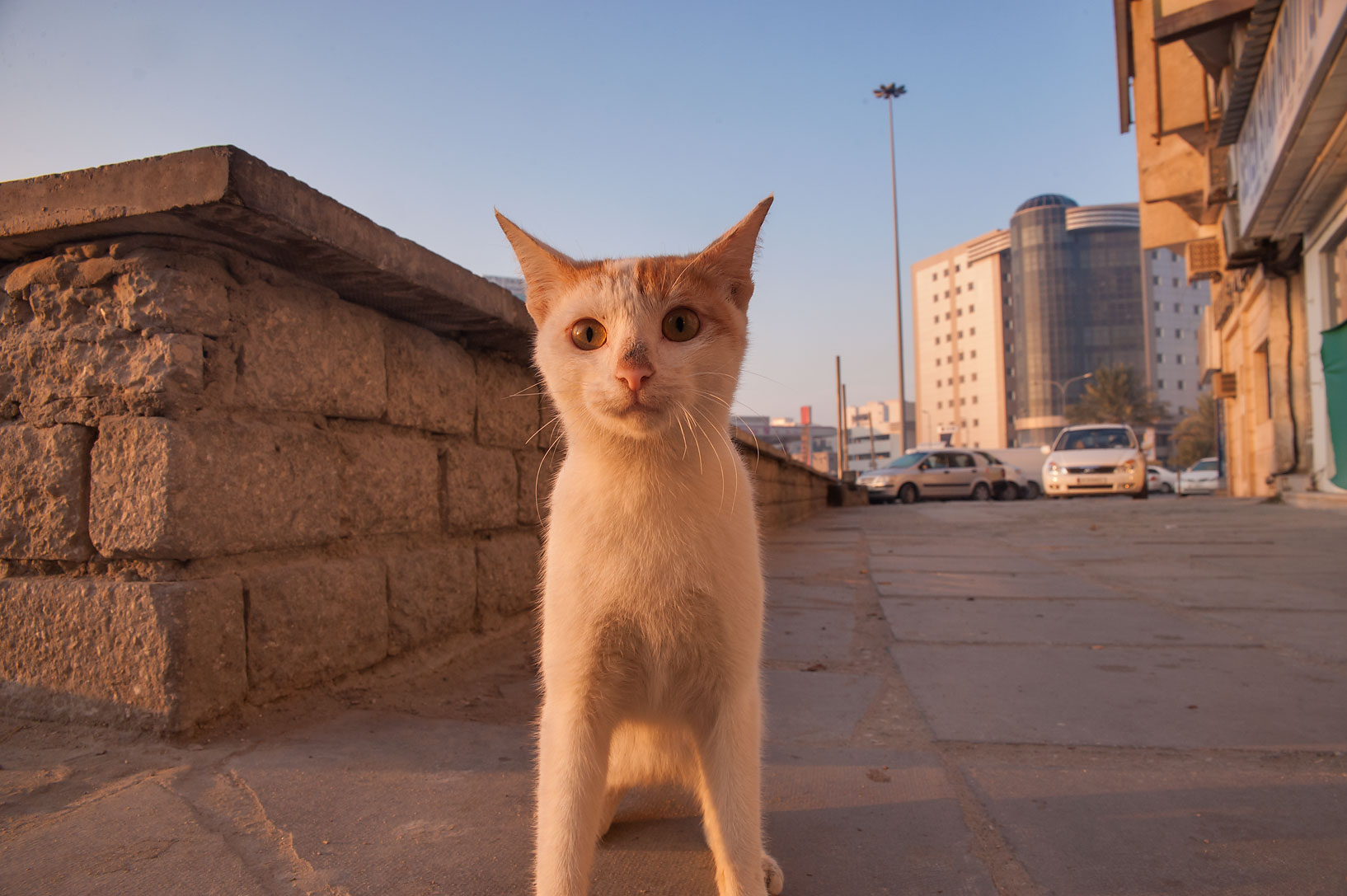 Standing cat in Musheirib neighborhood. Doha, Qatar