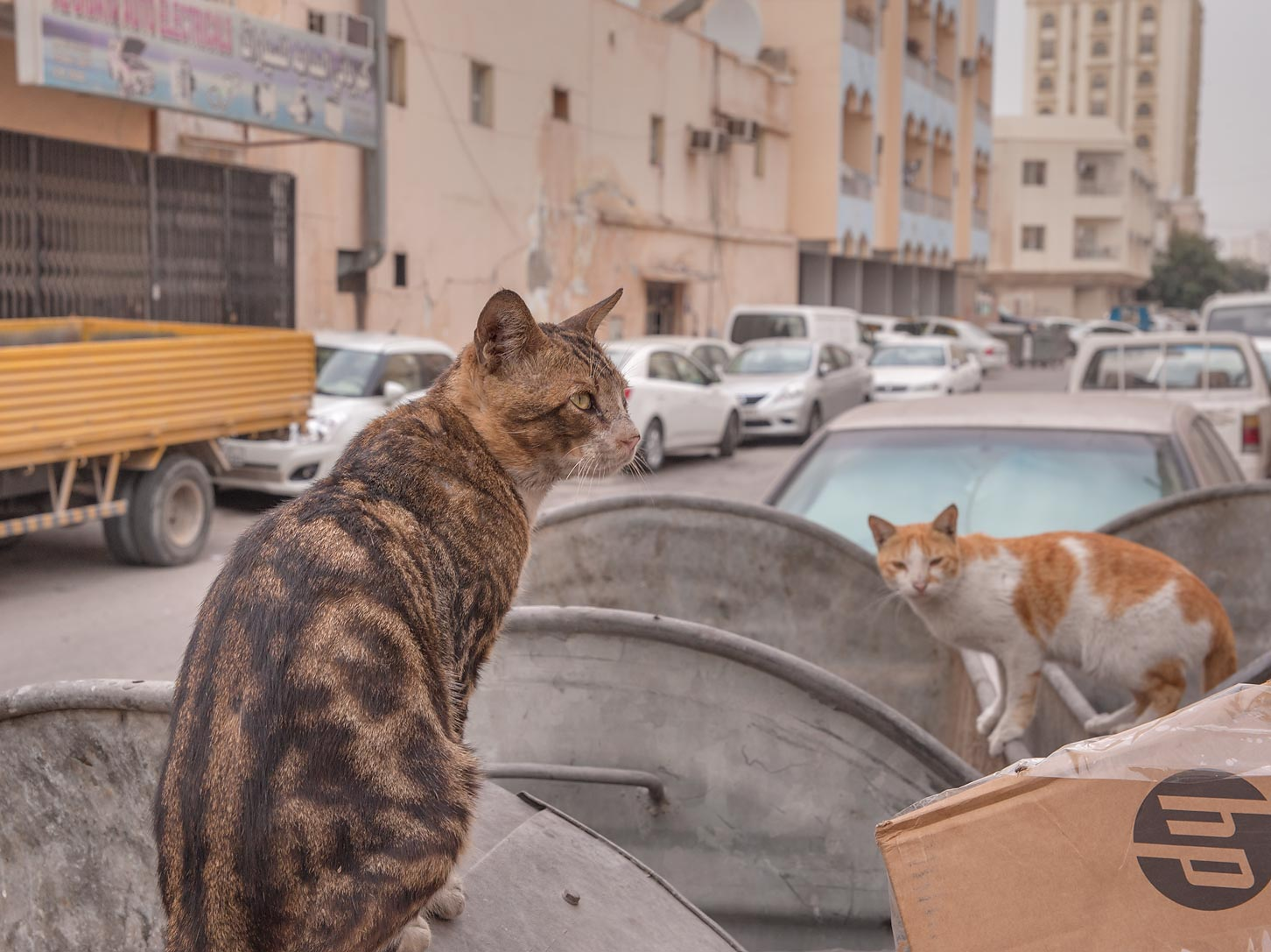 Cats raiding dumpsters at Zurara Bin Amir St. in...Al Jadeeda neighborhood. Doha, Qatar