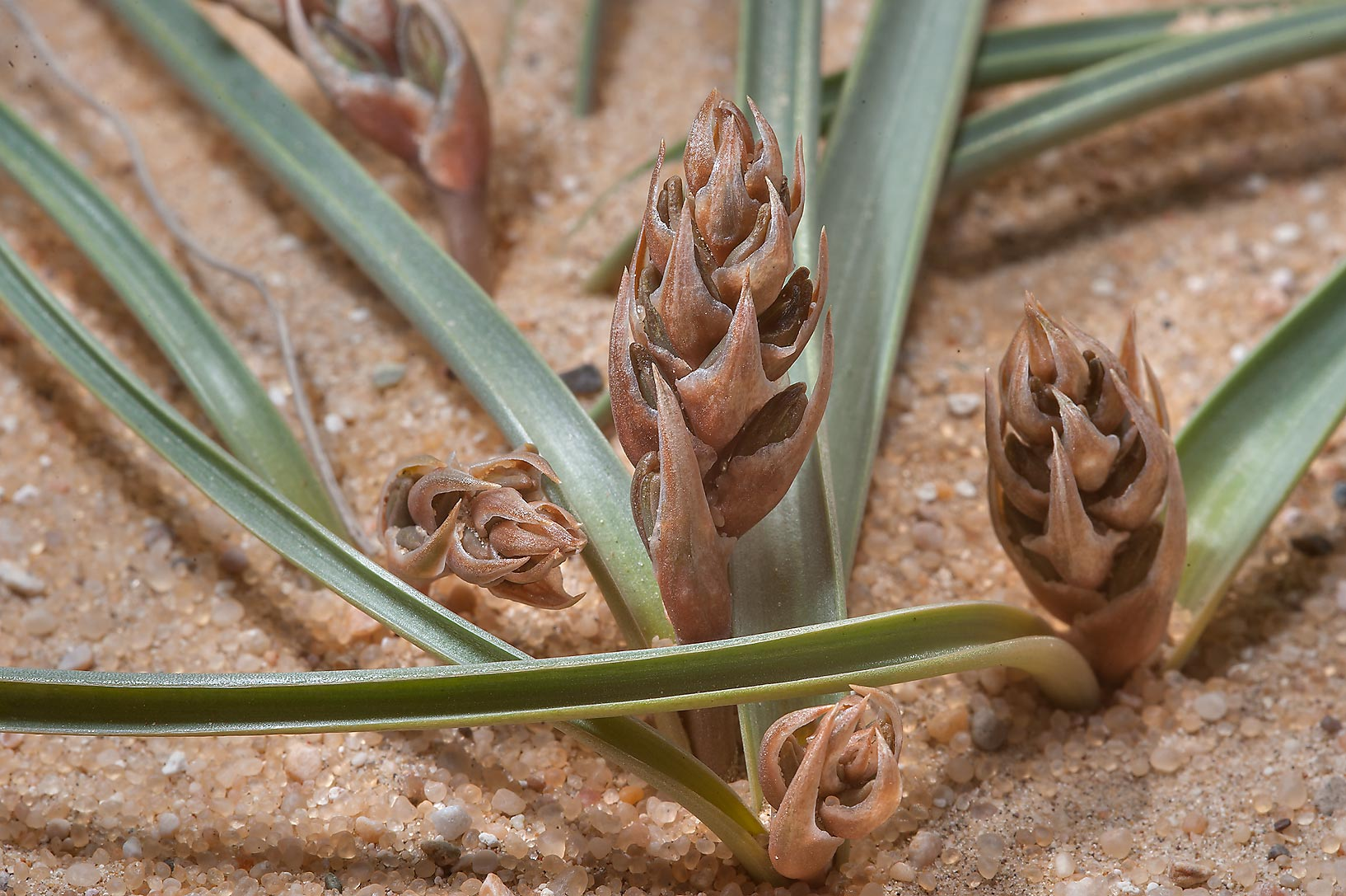 Brown lily (Dipcadi erythraeum, local names...Jebel Al-Nakhsh in south-western Qatar
