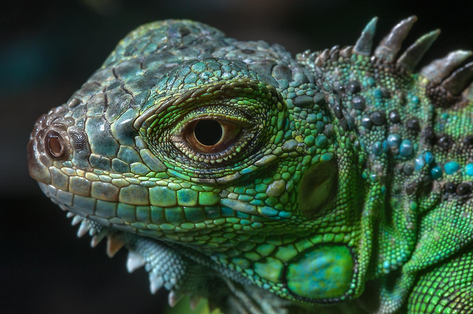 Blue Iguana For Sale : Ty s lizards blue pectinata for sale two hundred facebook