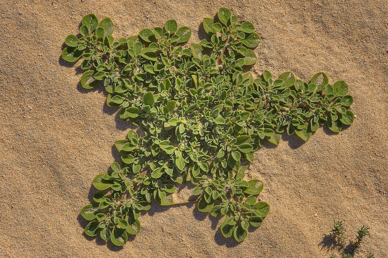 Starfish shaped desert plant of purslane-leaved...Sawda Natheel Rd. in southern Qatar