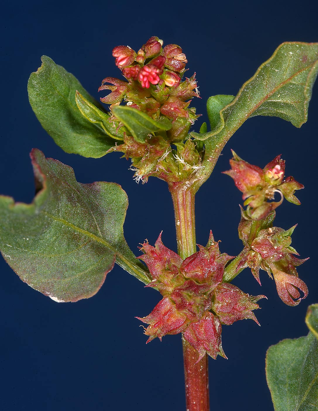 Prickly Dock (Emex spinosa, Rumex spinosus, local...on a roadside in southern Qatar