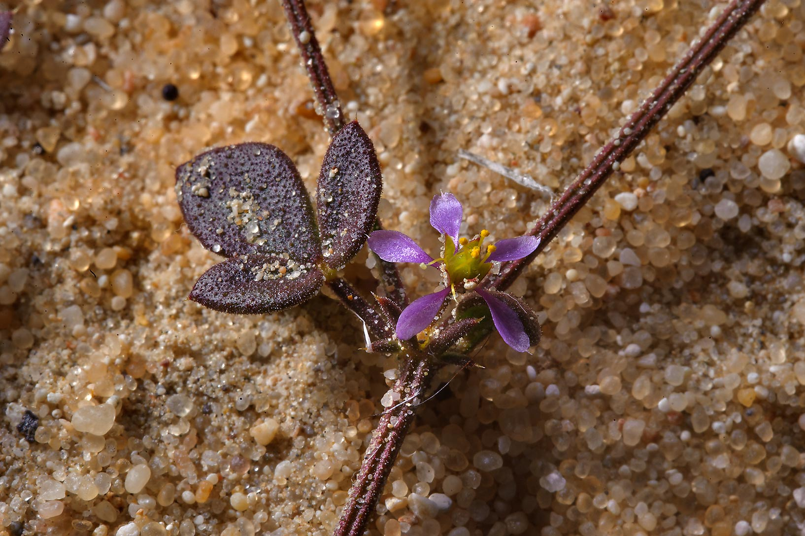 Flower of a desert plant Fagonia glutinosa (local...to Sawda Natheel in southern Qatar