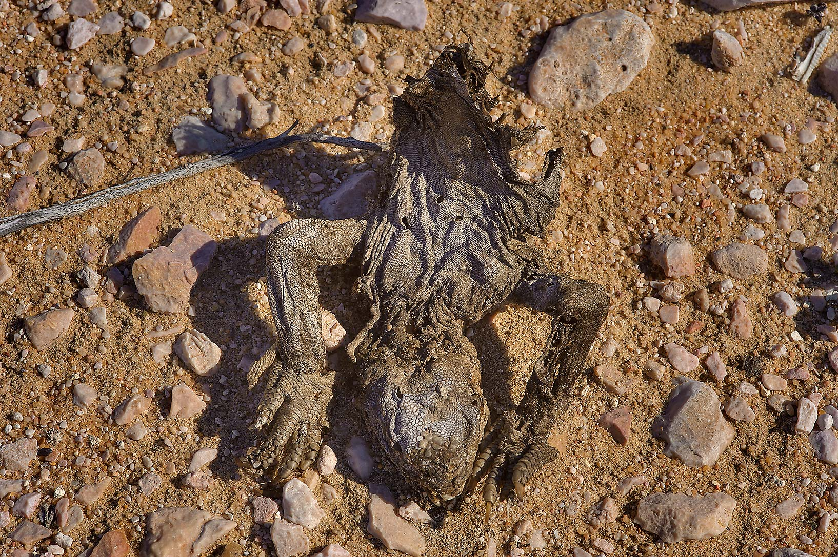 Carcass of dhub (spiny-tailed agama) near a road to Sawda Natheel in southern Qatar