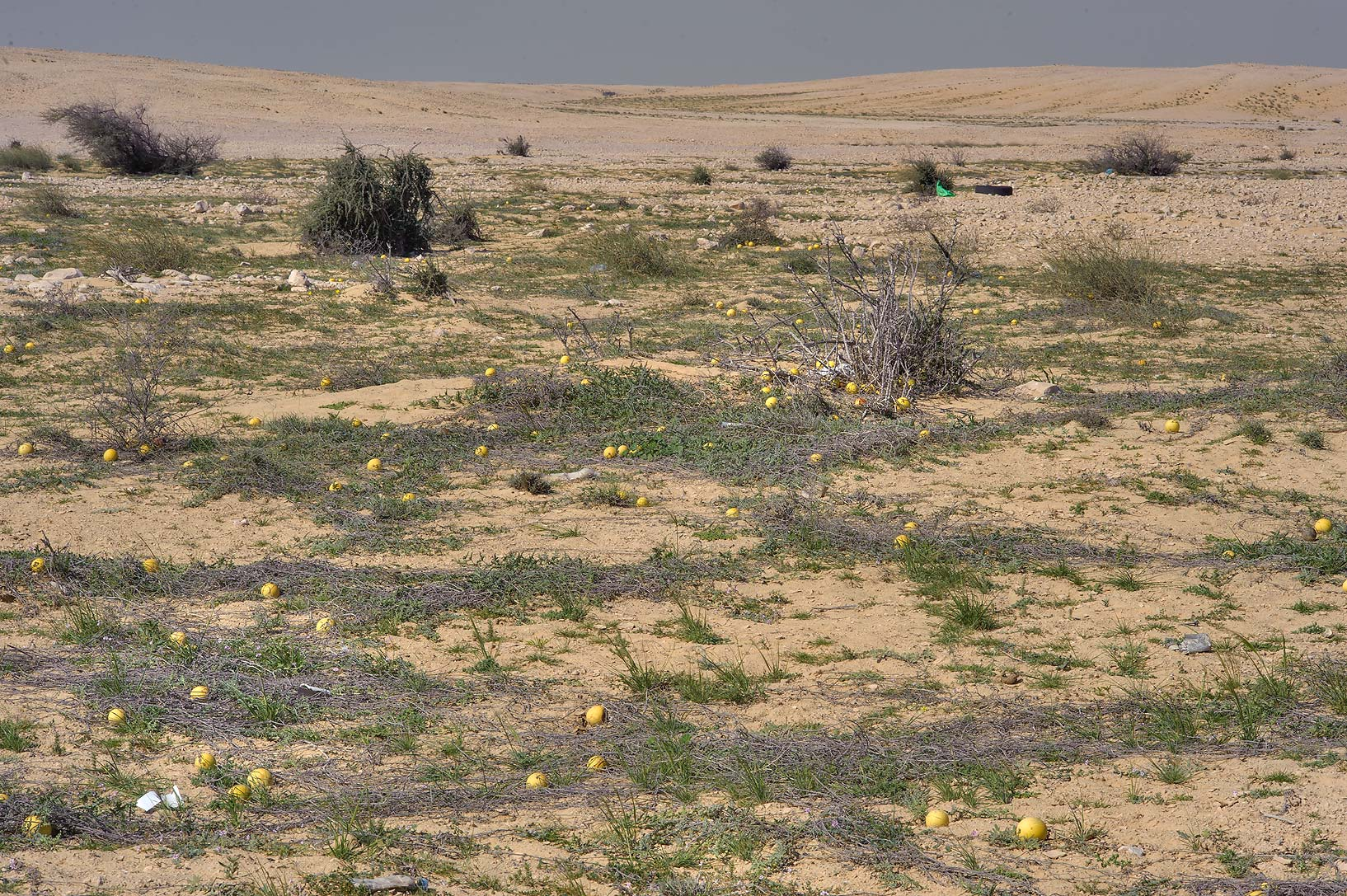 Field of desert watermellons Citrullus...to Sawda Natheel in southern Qatar