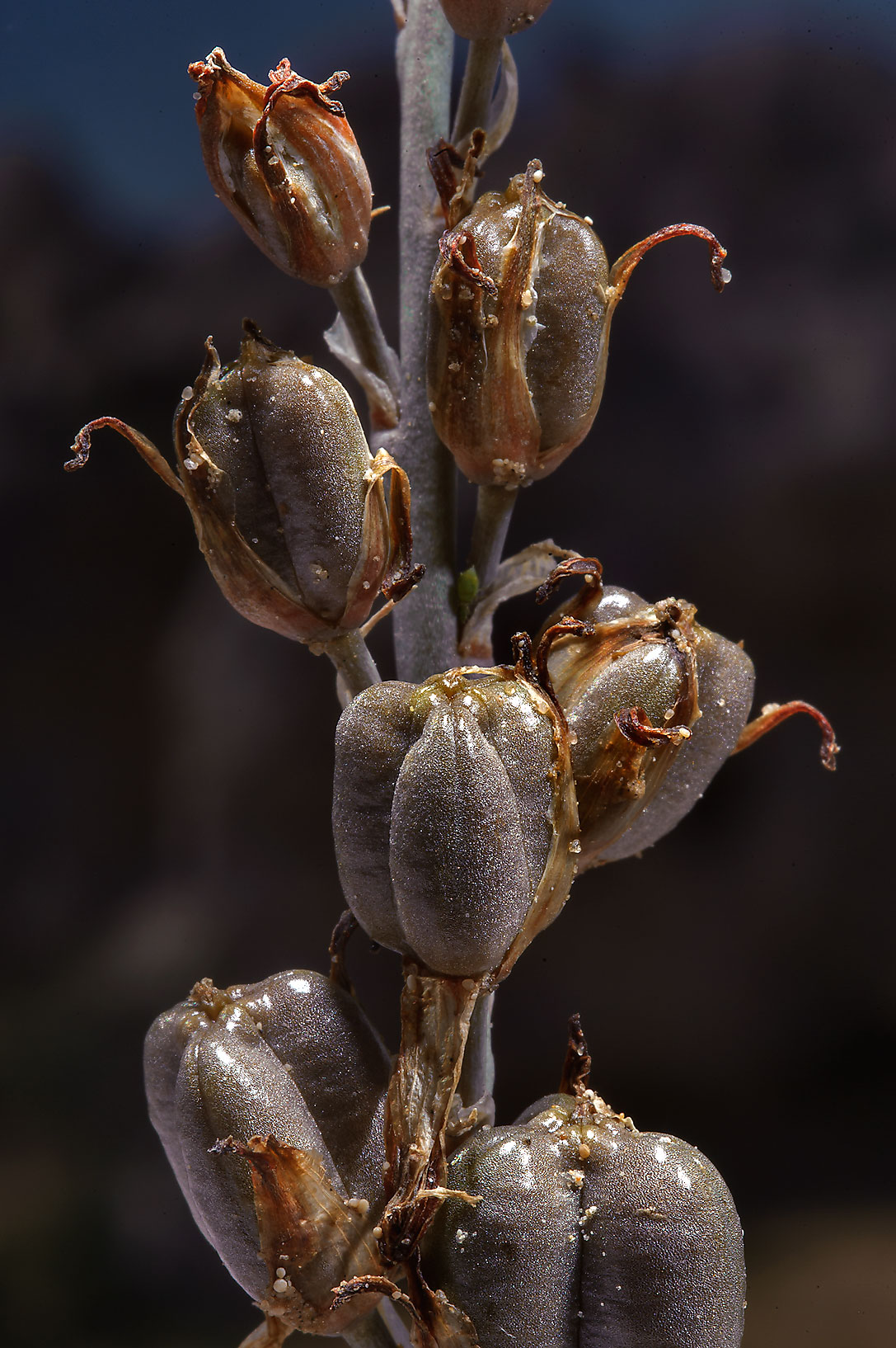 photo 134104 seeds of brown lily dipcadi erythraeum
