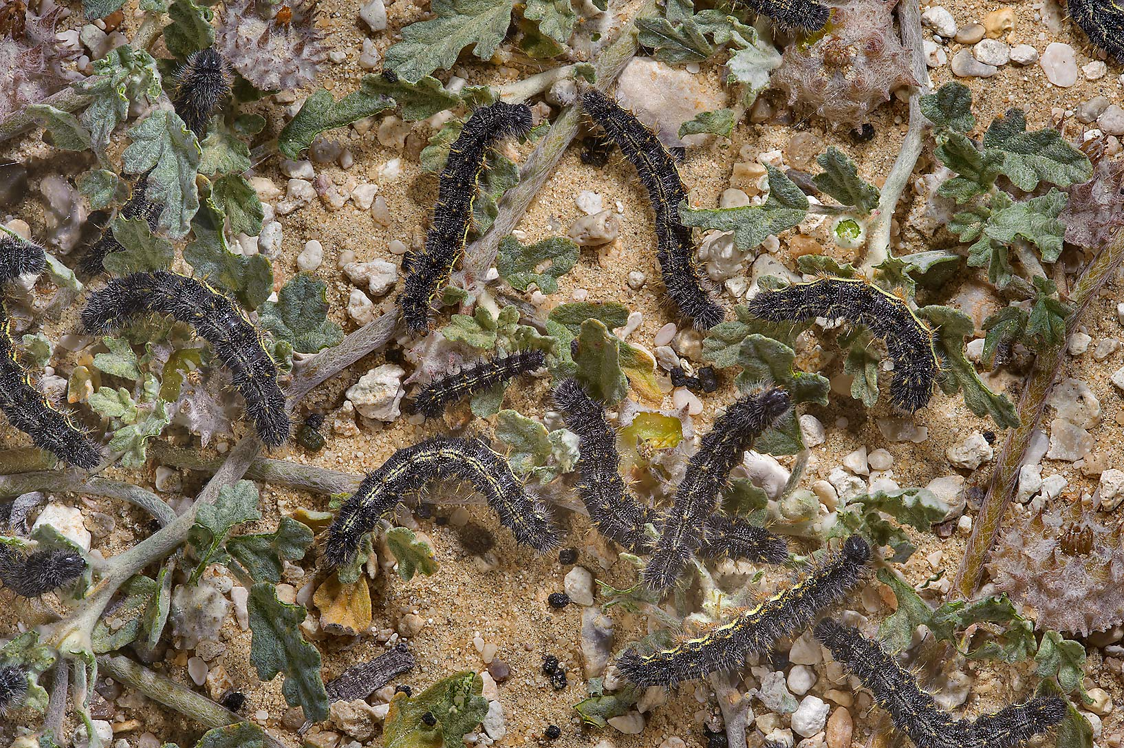 Black caterpillars eating Sand button (creeping...road to Saudi Arabia in southern Qatar