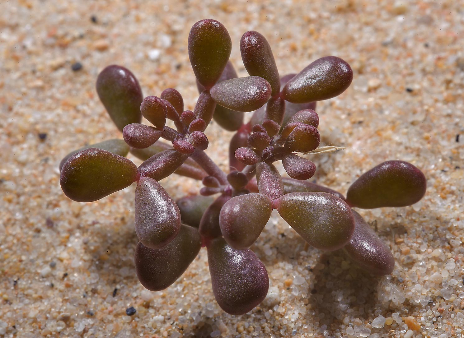 Seedling of a desert plant Tetraena qatarense...sand on a roadside in southern Qatar