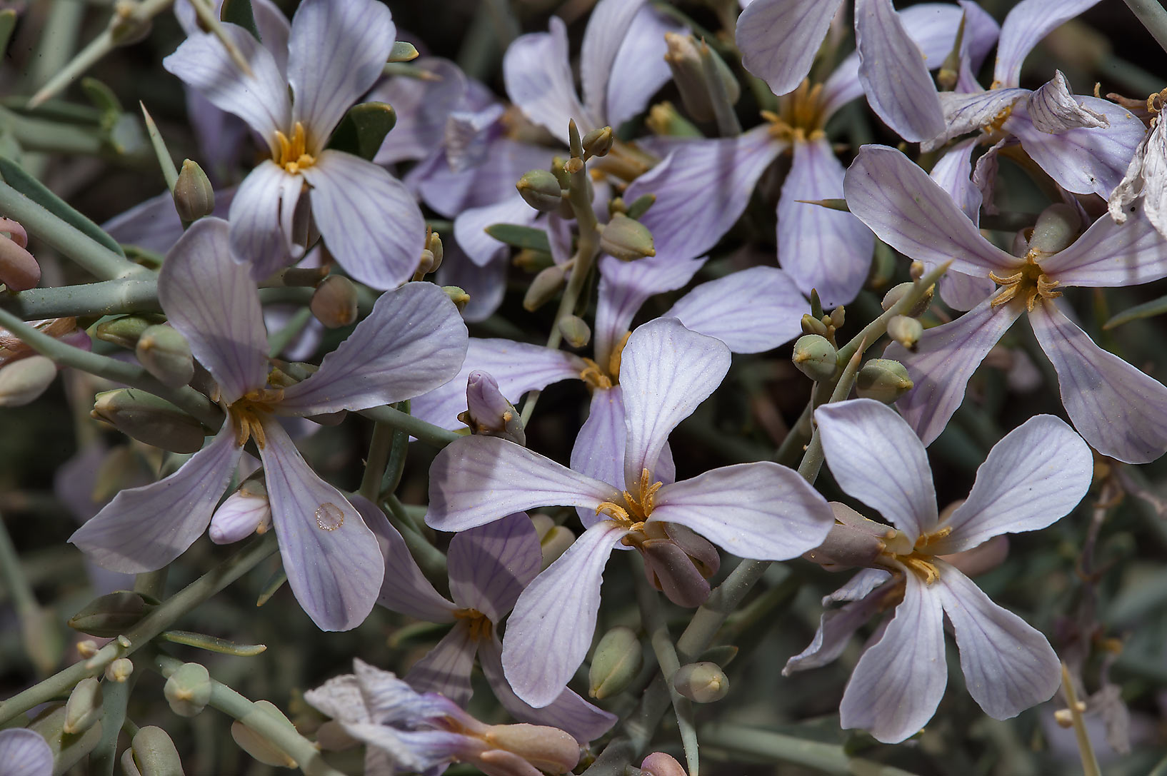 Dense flowers of Zilla spinosa (Bunias spinosa...of Abu Samra Rd. in southern Qatar