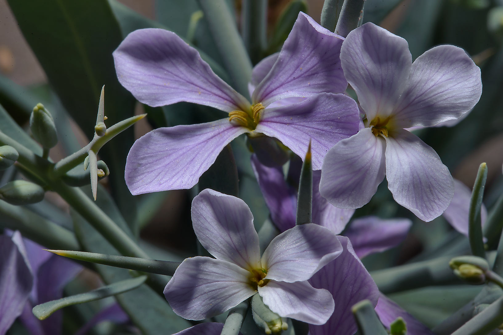 Close up of flowers of Zilla spinosa (Bunias...of Abu Samra Rd. in southern Qatar