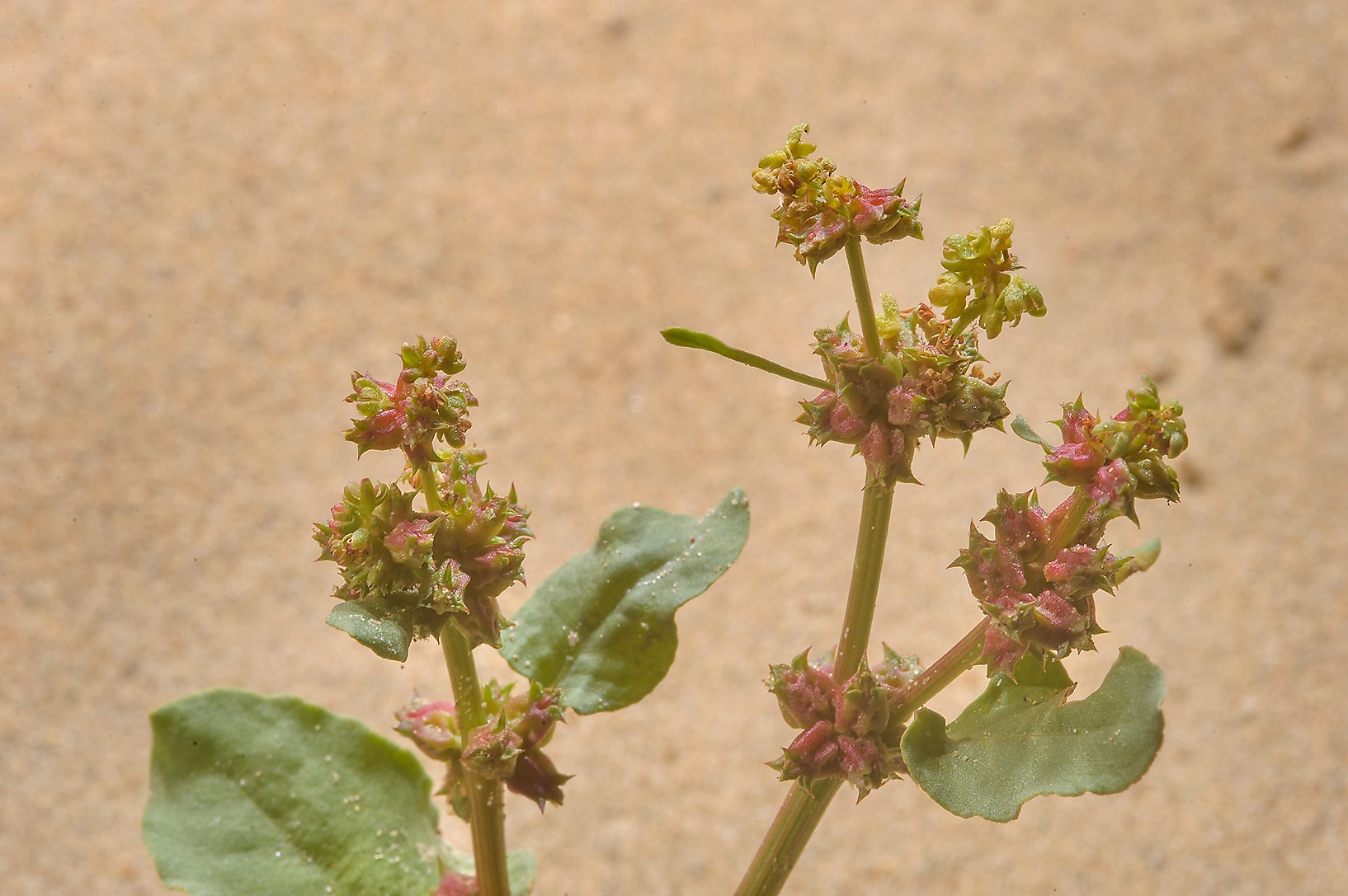 Prickly Dock (Emex spinosa, Rumex spinosus, local...in sand near Trainah in southern Qatar