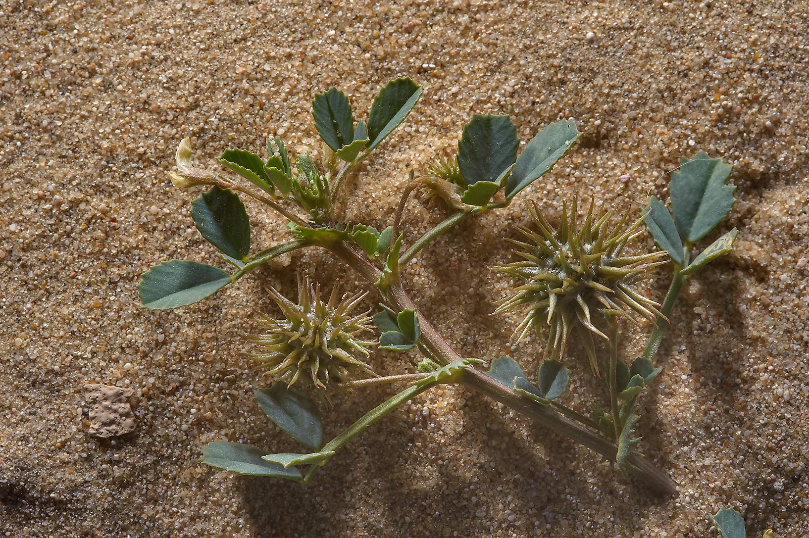 Desert plant Medicago laciniata (Medicago...in sand near Trainah in southern Qatar