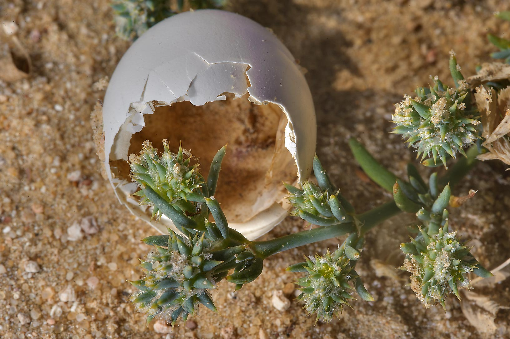 Knucklehead Weed (Sclerocephalus arabicus...in sand near Trainah in southern Qatar