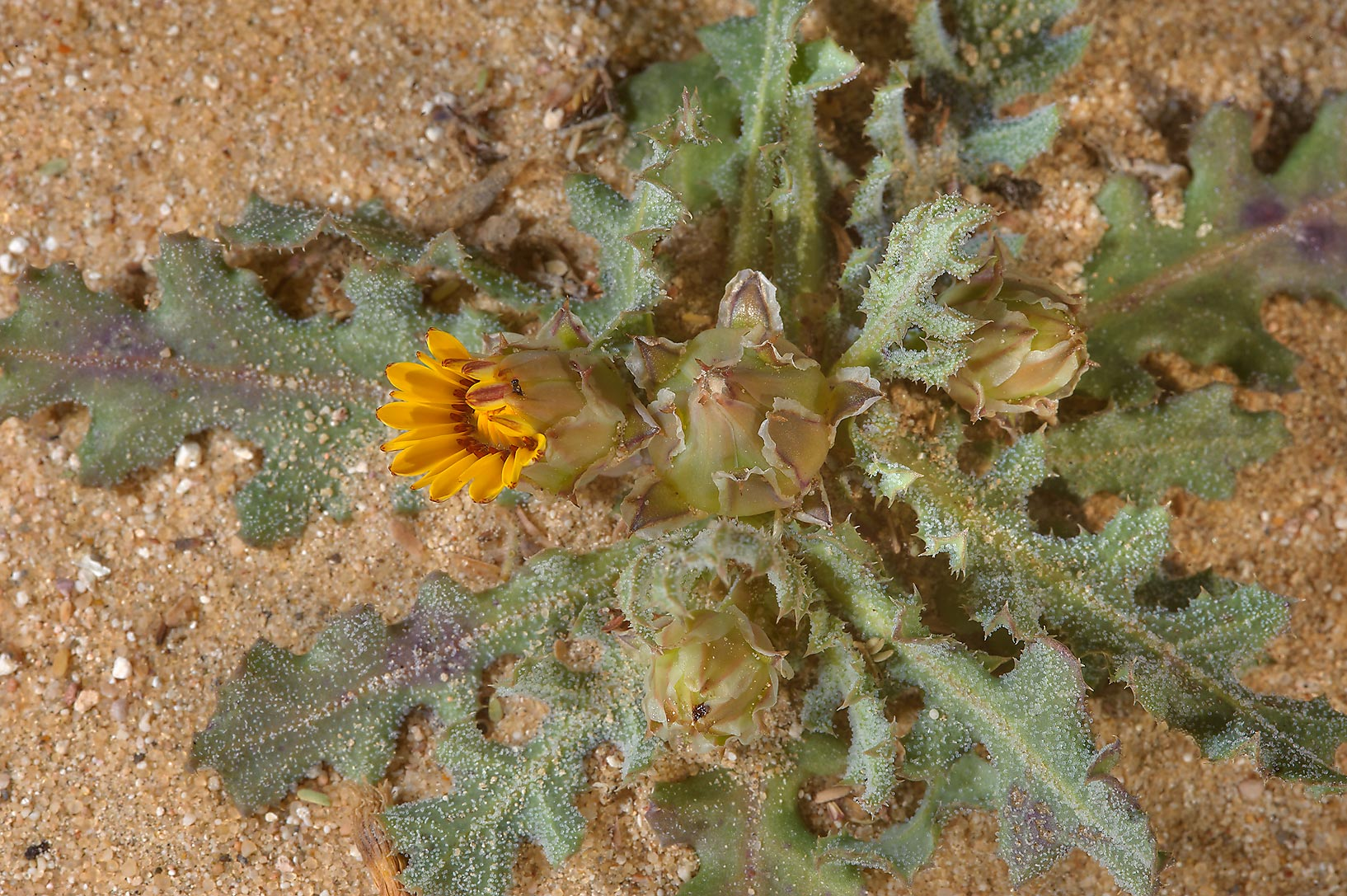 False sowthistle (Reichardia tingitana, local...in sand near Trainah in southern Qatar