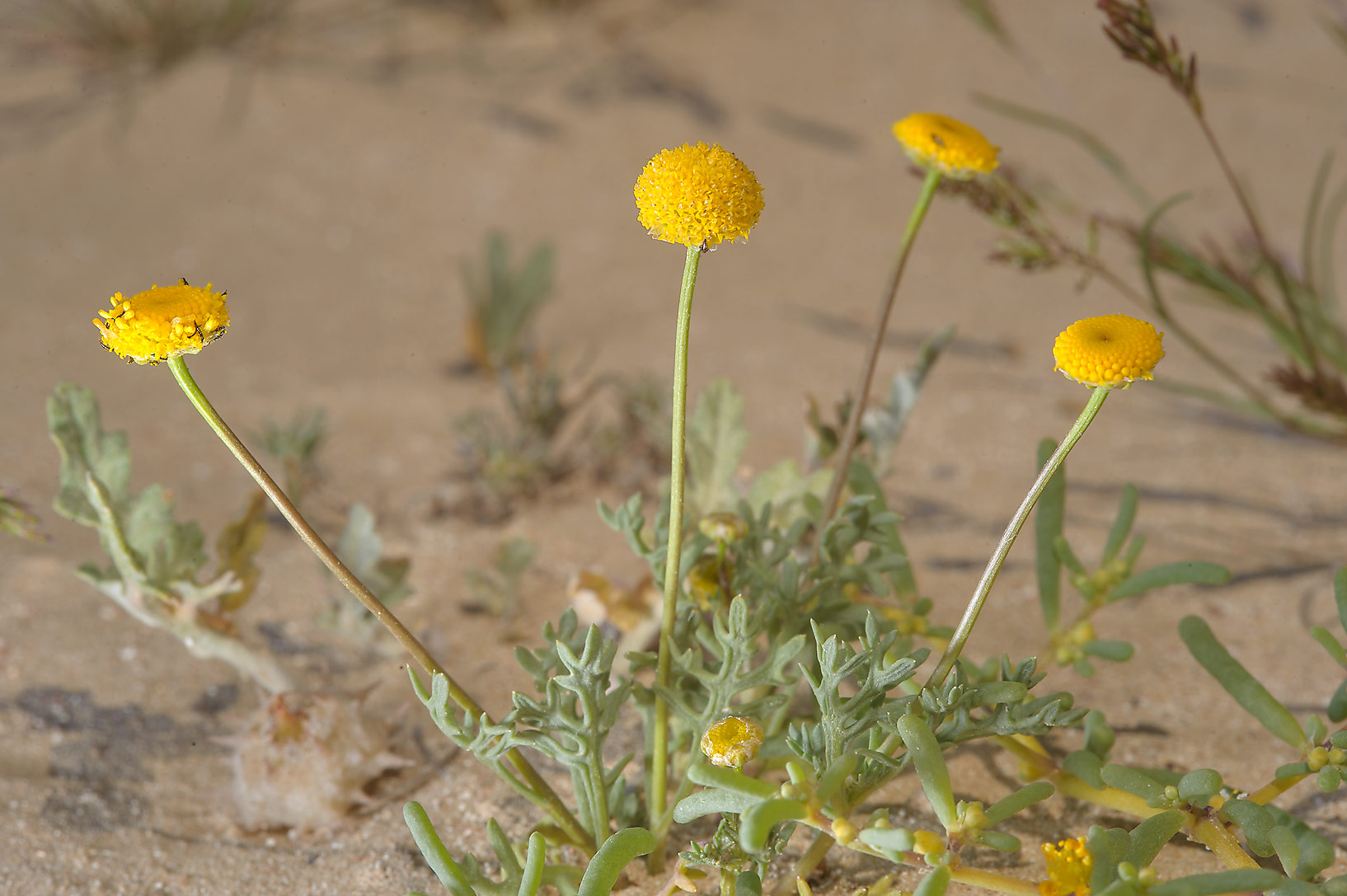 Yellow flowers of Aaronsohnia factorovskyi or may...sand near Harrarah in southern Qatar