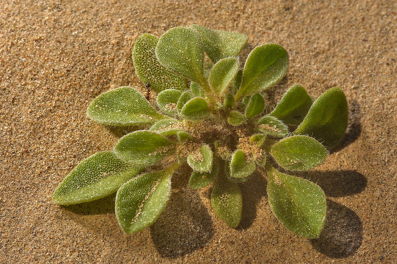 Desert plant purslane-leaved aizoon (Aizoon...of Salwa Rd. in south-western Qatar
