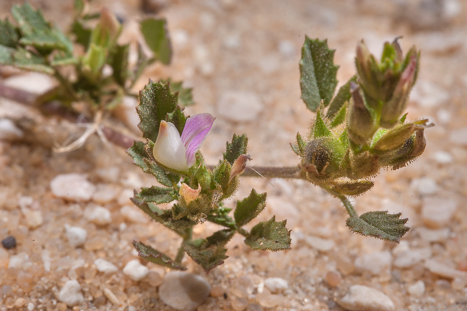 Small Restharrow (Ononis reclinata) at entrance of Umm Bab in south-western Qatar