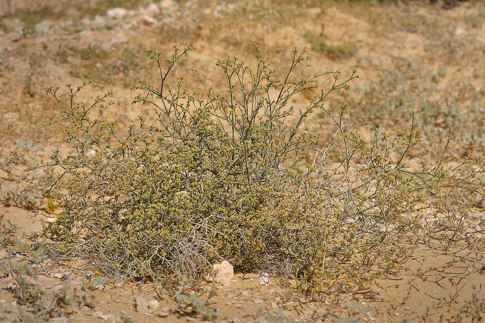 Polycarpaea repens (Corrigiola repens) at entrance of Umm Bab in south-western Qatar