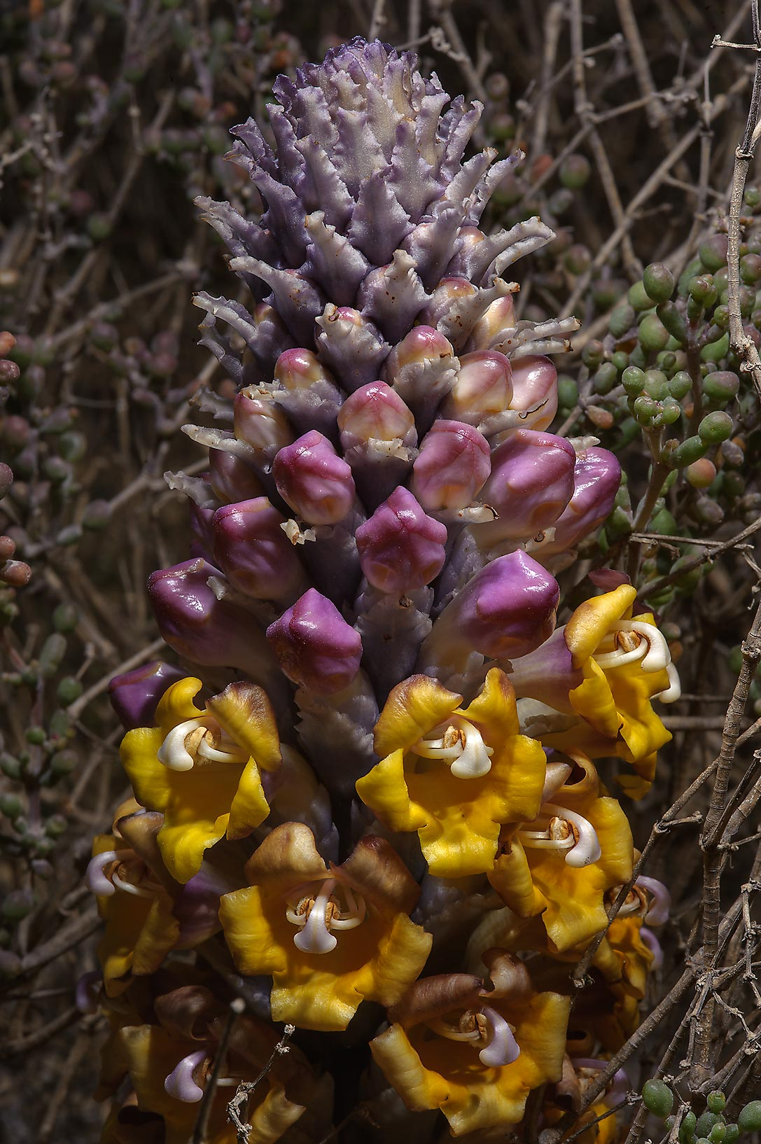 Parasitic plant Desert Hyacinth (Cistanche...of Umm Bab in south-western Qatar