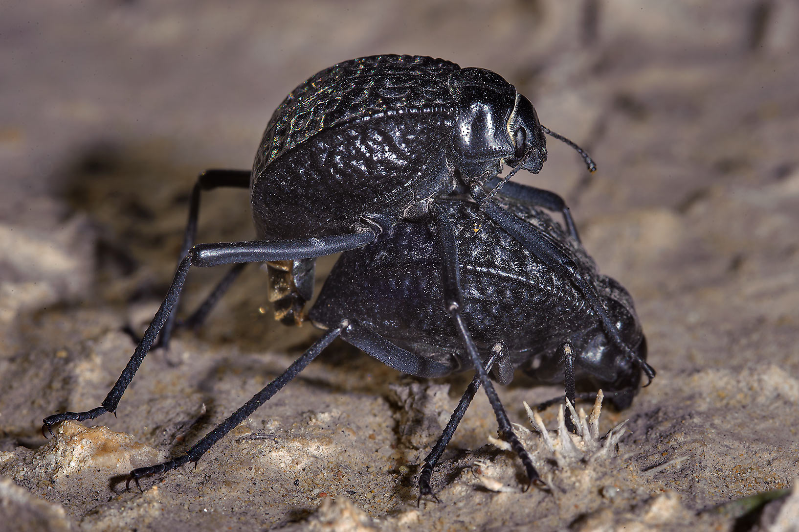 Mating pitted darkling beetles (Adesmia...of Salwa Rd. in south-western Qatar