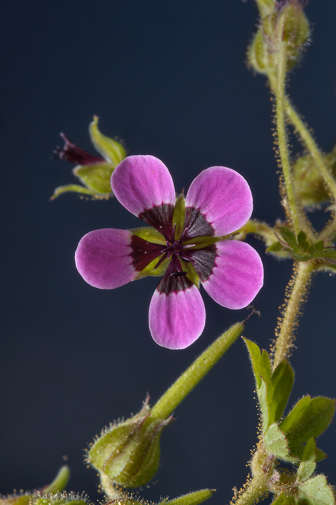 Flower and seeds of black-eyed geranium (Geranium...farms area, in north-western Qatar