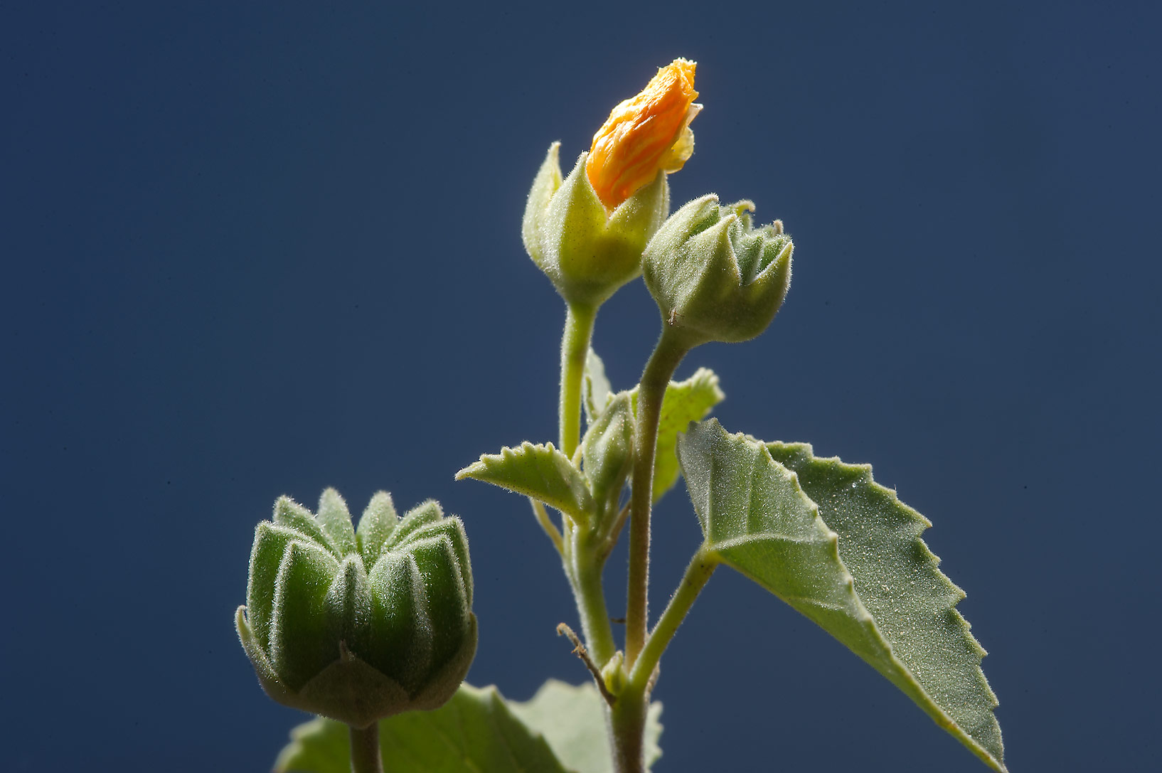 Shoot of Texas Indian-mallow (Abutilon fruticosum...farms area, in north-western Qatar