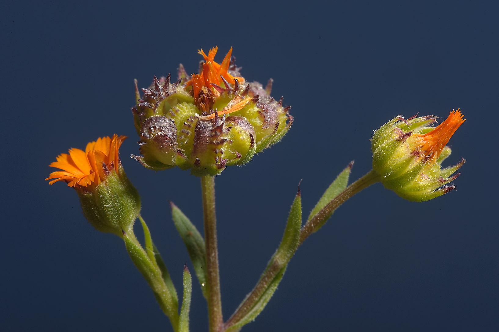 Flowers and seeds of Field Marigold (Calendula...farms area, in north-western Qatar