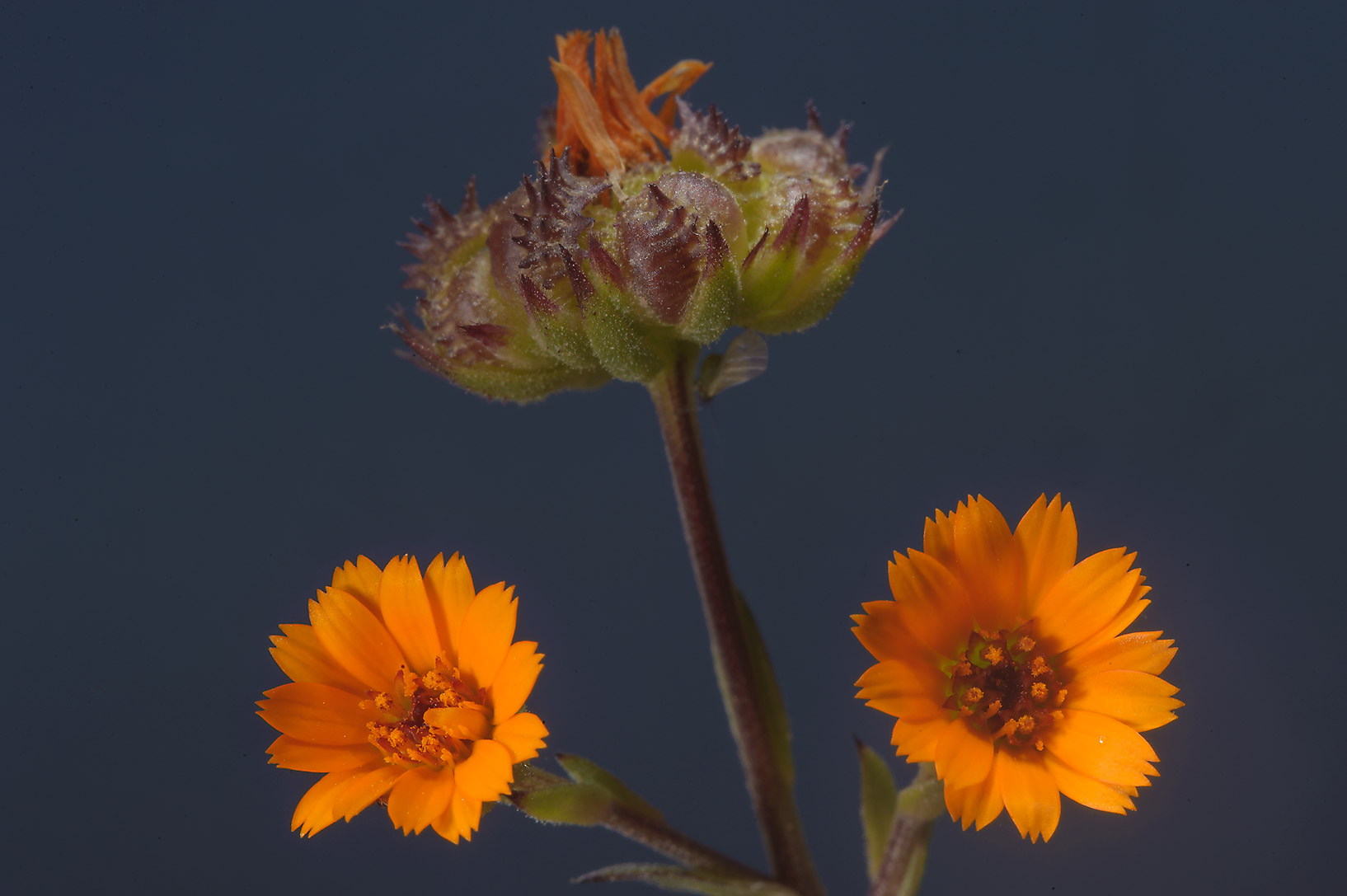 Seeds with flowers of Field Marigold (Calendula...farms area, in north-western Qatar