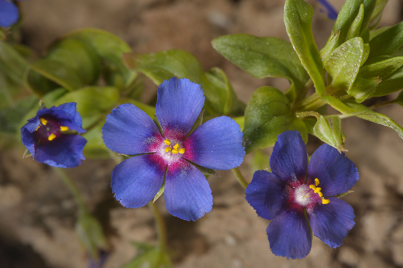 Blue flowers of scarlet pimpernel (Anagallis...farms area, in north-western Qatar