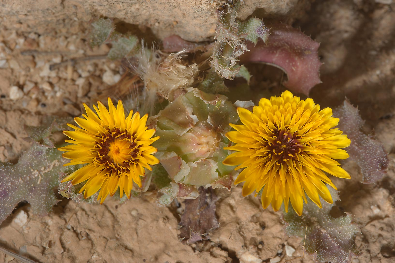 Flowers of false sowthistle (Reichardia tingitana...Magdah farms (Thaghab Al Majda). Qatar