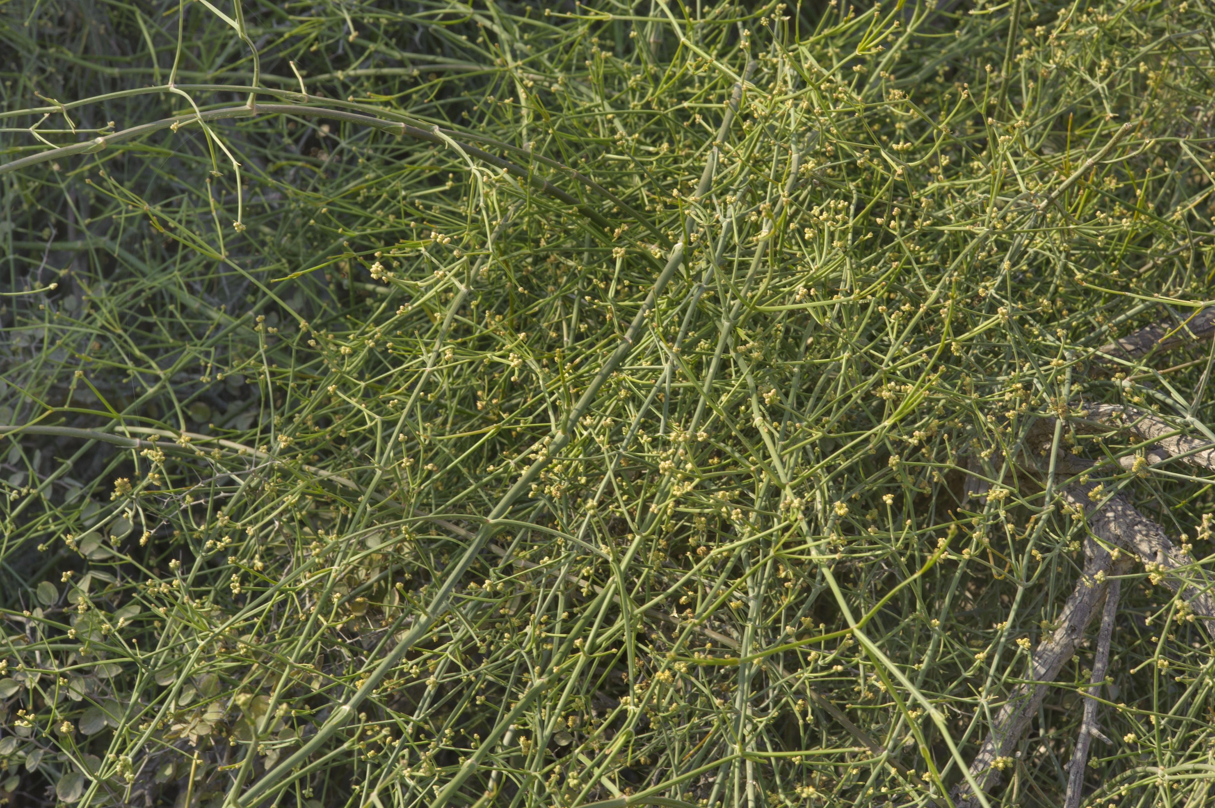 Ephedra foliata - Flora of Qatar