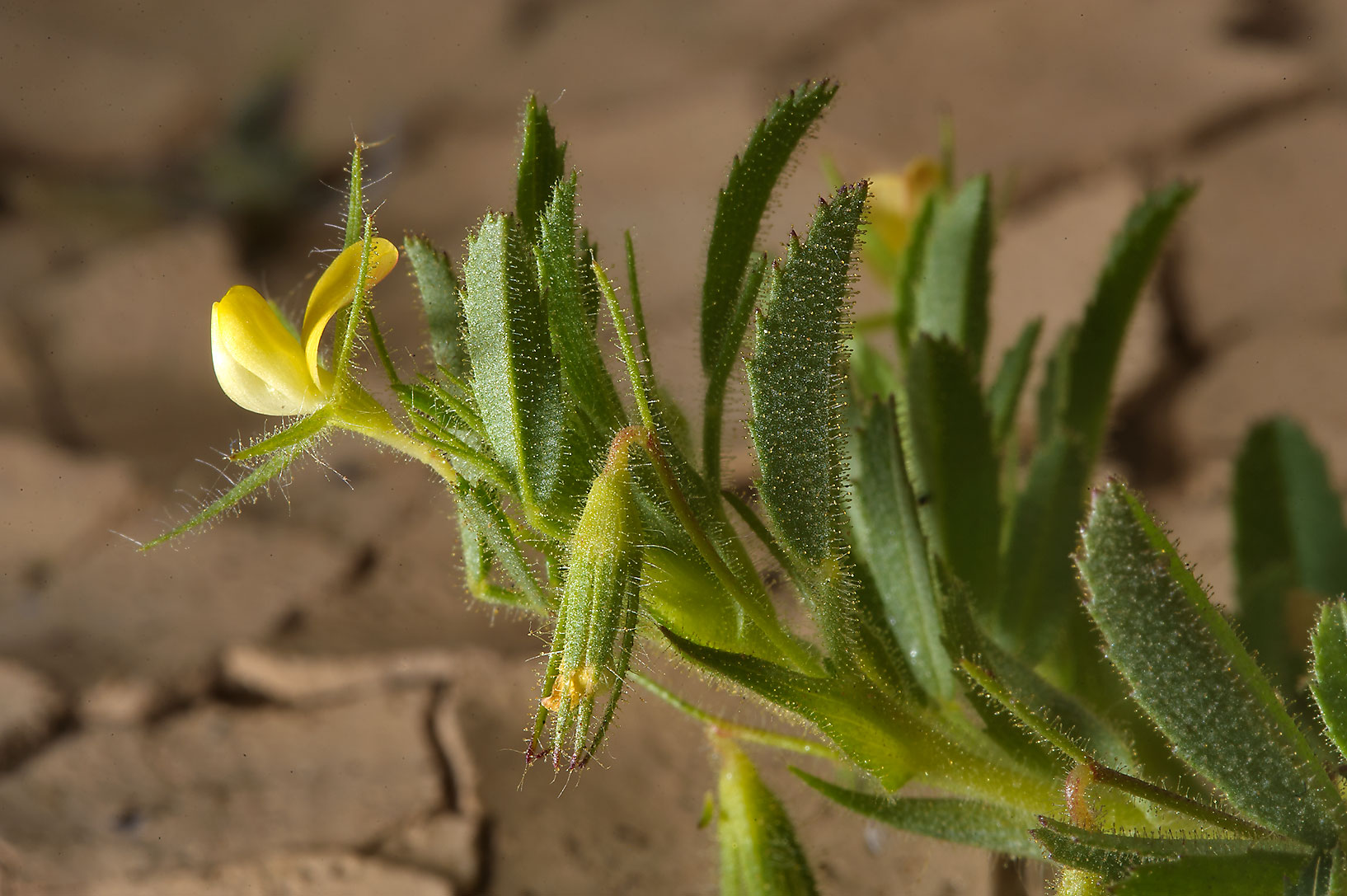 Flowers of Ononis sicula (Barak Sicily) in silty...near Ras Laffan. Northern Qatar