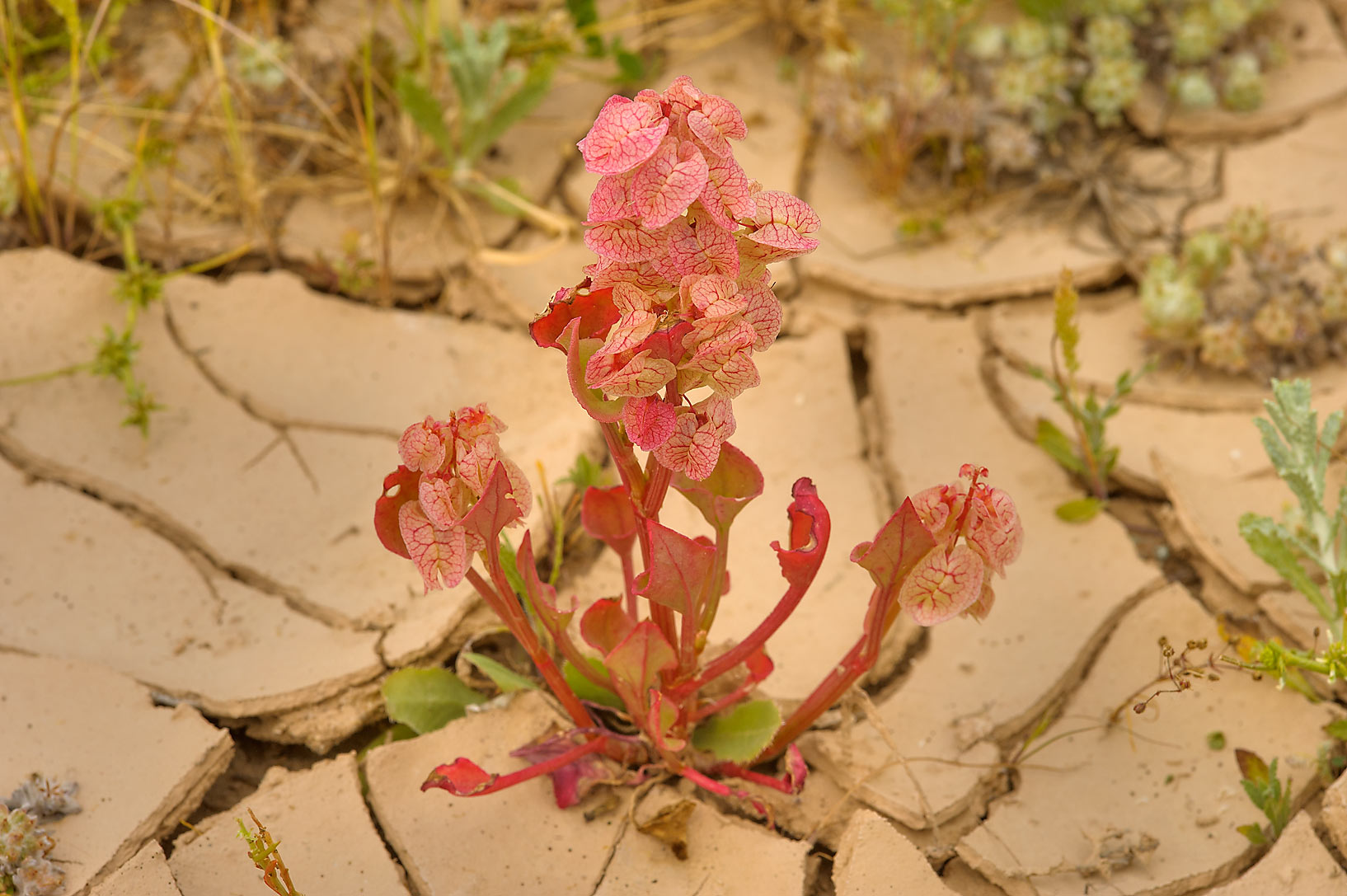 Bladder dock (Rumex vesicarius, local name...near Ras Laffan. Northern Qatar