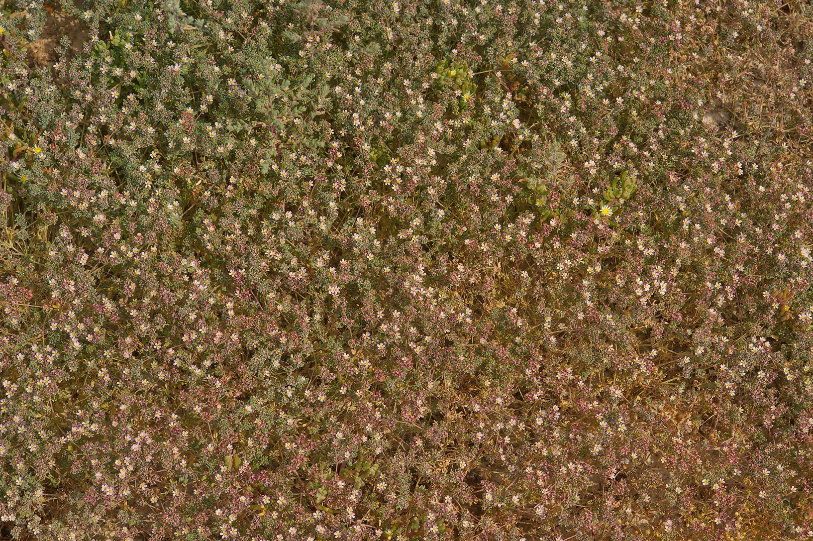 Carpet of European seaheath (Frankenia...farms in Ras Laffan. Northern Qatar