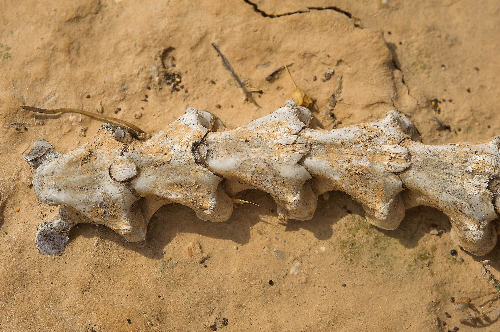 Snake's skeleton in area of Ras Laffan farms. Northern Qatar