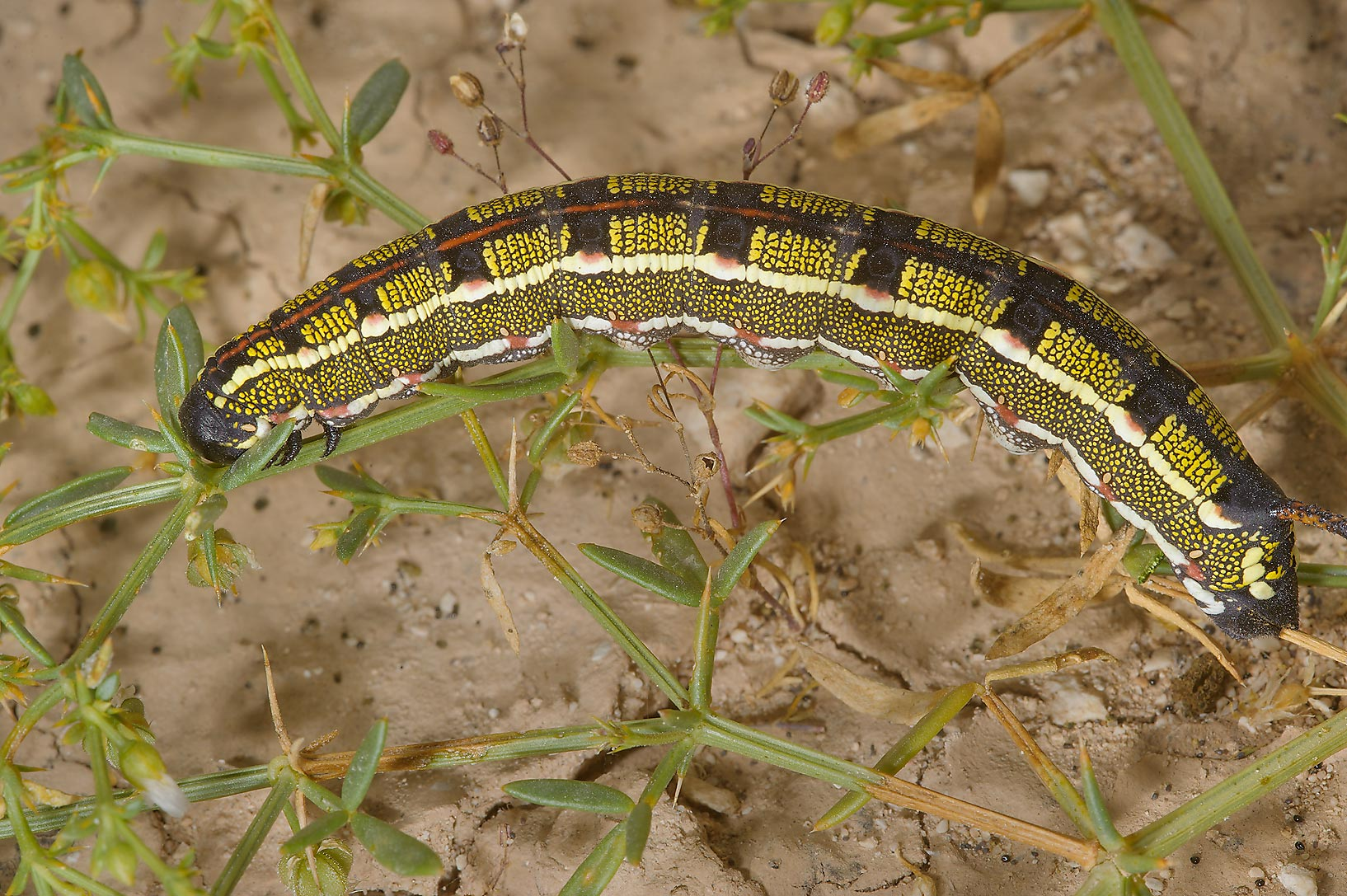 Striped Hawkmoth caterpillar (Hyles livornica...of Ras Laffan farms. Northern Qatar