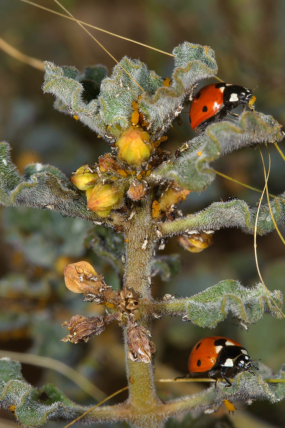 Ladybugs eating aphids feeding on Glossonema...of Ras Laffan farms. Northern Qatar