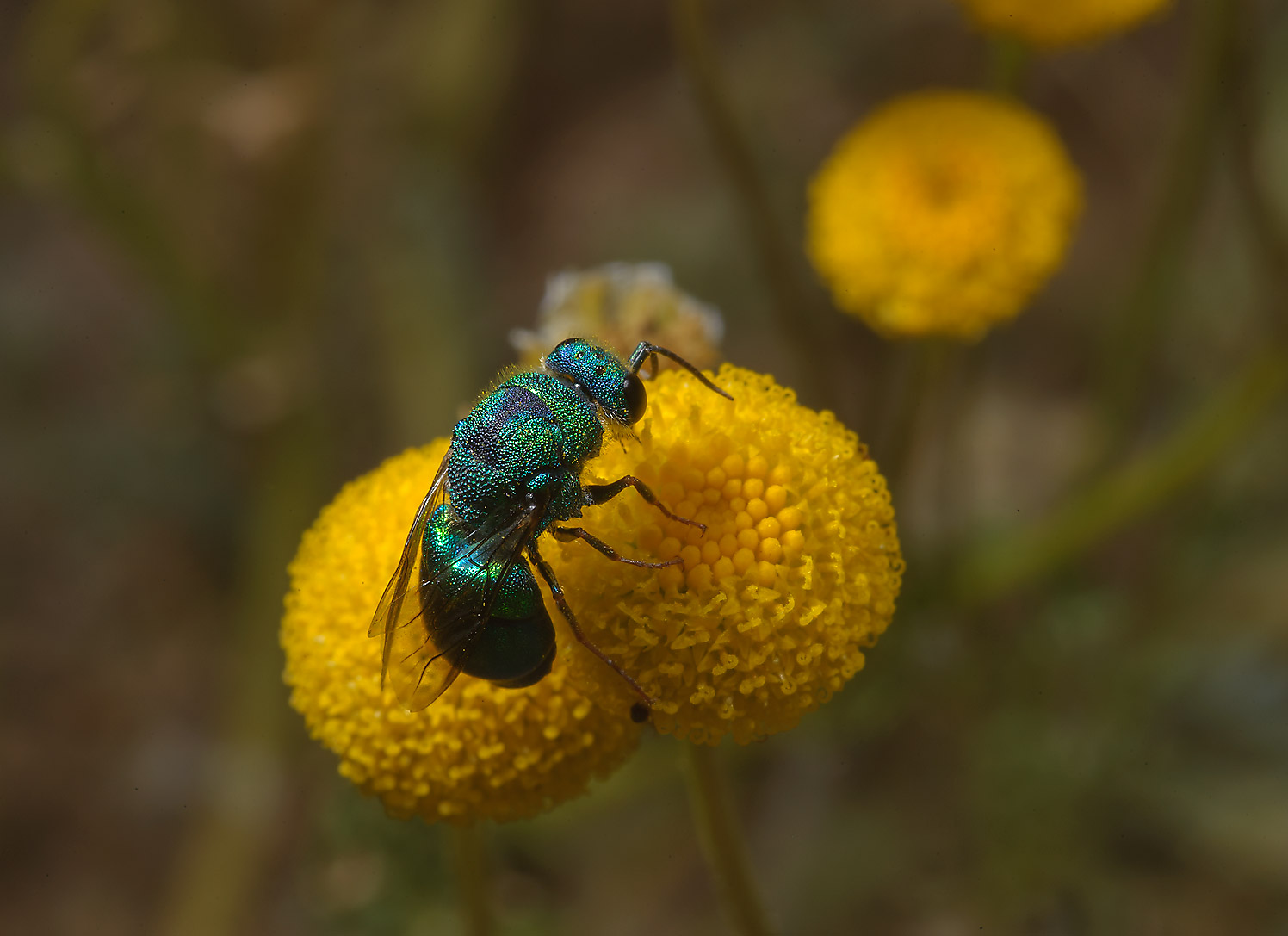 Green Metallic Bee (Agapostemon) on yellow...of Ras Laffan farms. Northern Qatar