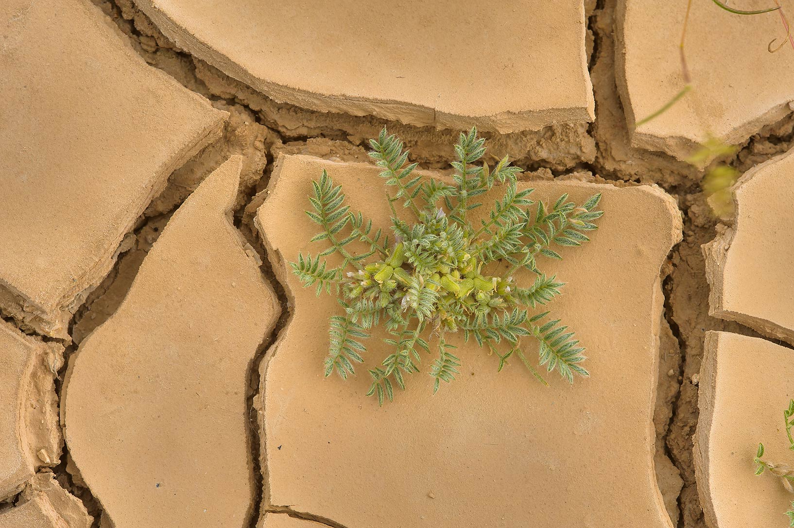 Astragalus tribuloides on dry silt in area of Ras Laffan farms. Northern Qatar