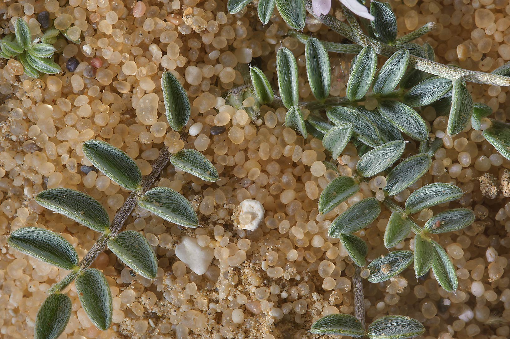 Leaves of milkvetch Astragalus schimperi in sands near Dukhan Rd.. Western Qatar