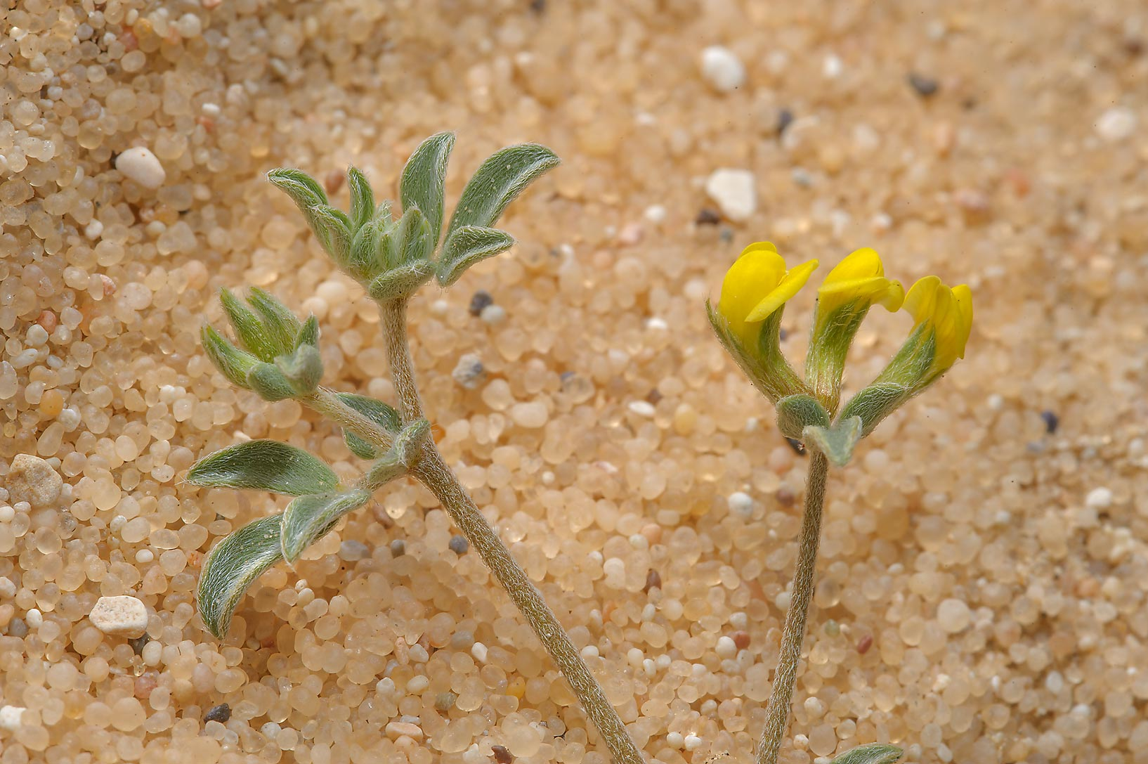 Greater bird's foot trefoil (Lotus halophilus...in sand near Dukhan Rd.. Western Qatar