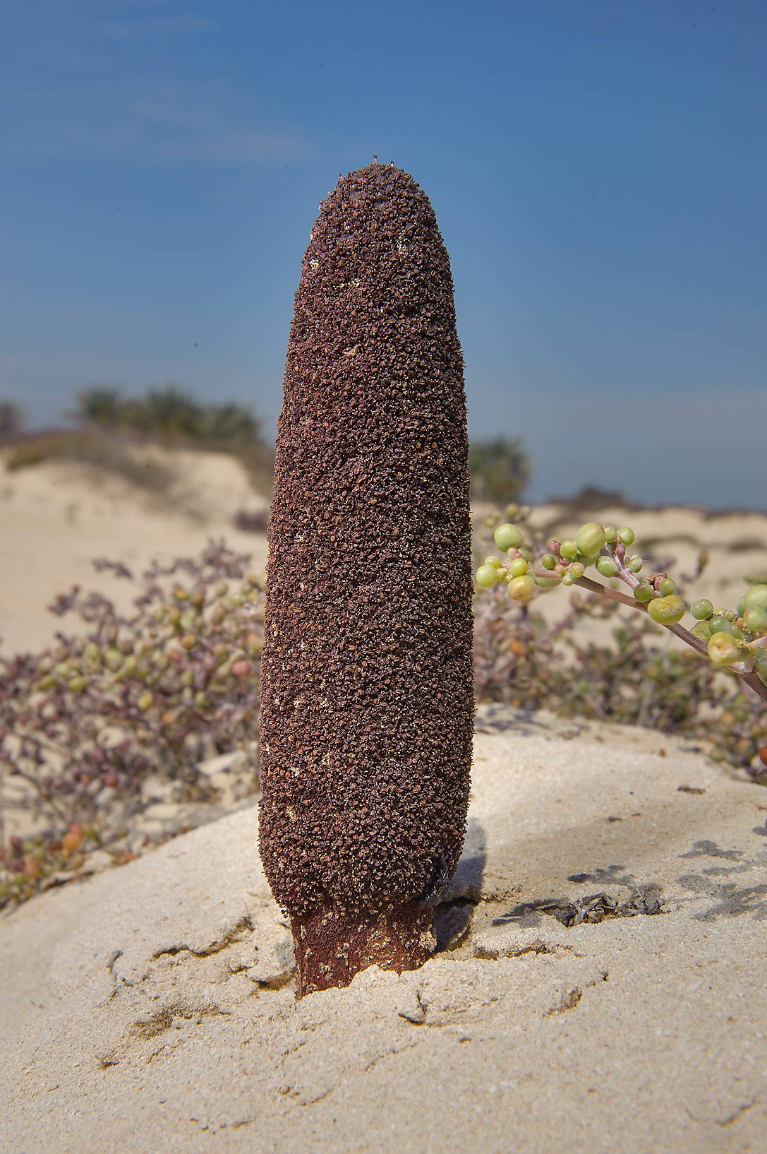 Parasitic plant Desert Thumb (Cynomorium...near Umm Bab in south-western Qatar