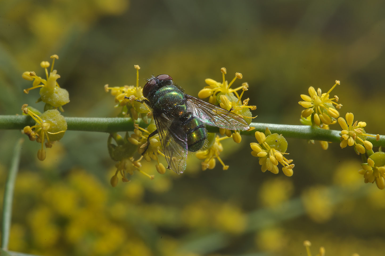 Fly on yellow flowers of Ochradenus baccatus...north from Dukhan in western Qatar
