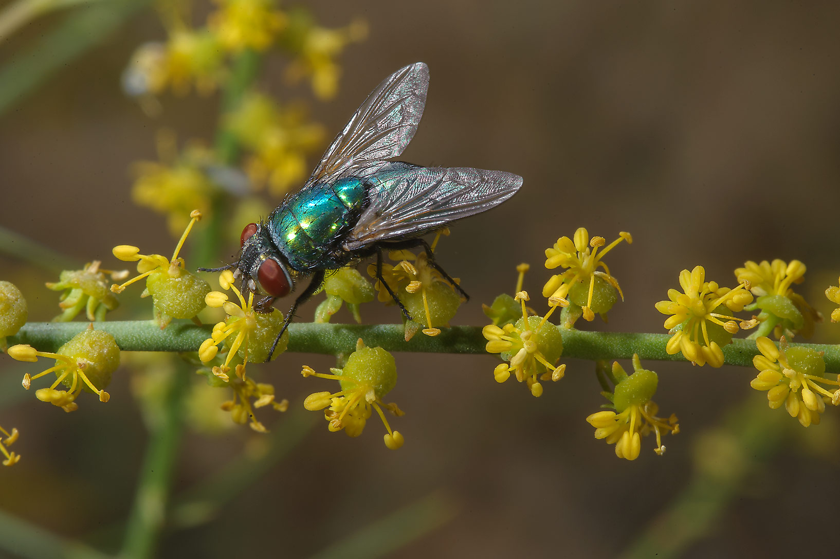 Green fly sitting on yellow flowers of Ochradenus...north from Dukhan in western Qatar