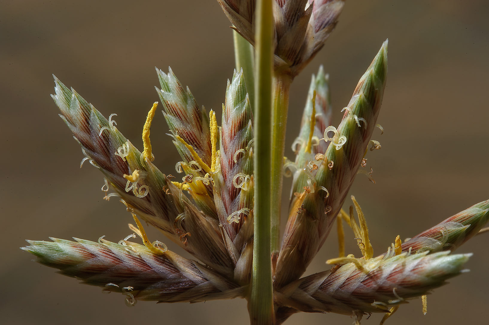 Sedge (Cyperus conglomeratus) in sands south from Sealine Beach Resort. Southern Qatar