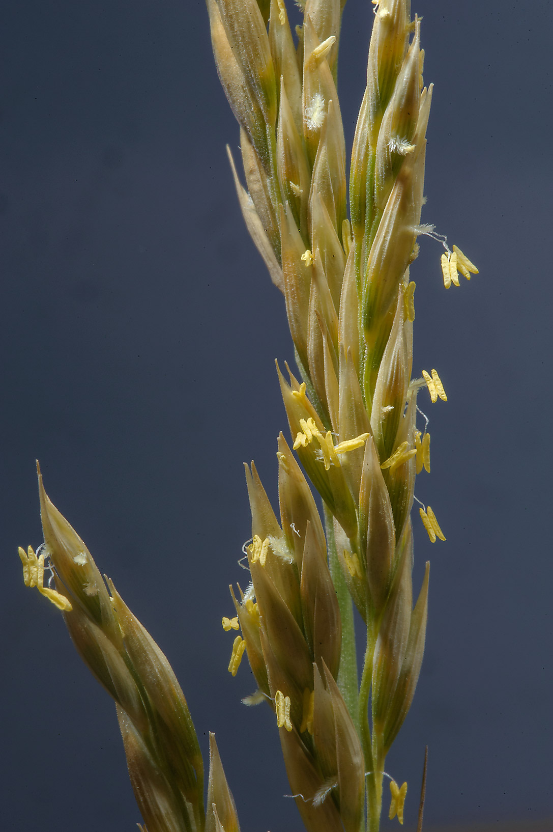 Close up of a spike of Centropodia fragilis grass...near Inland Sea Rd.. Southern Qatar