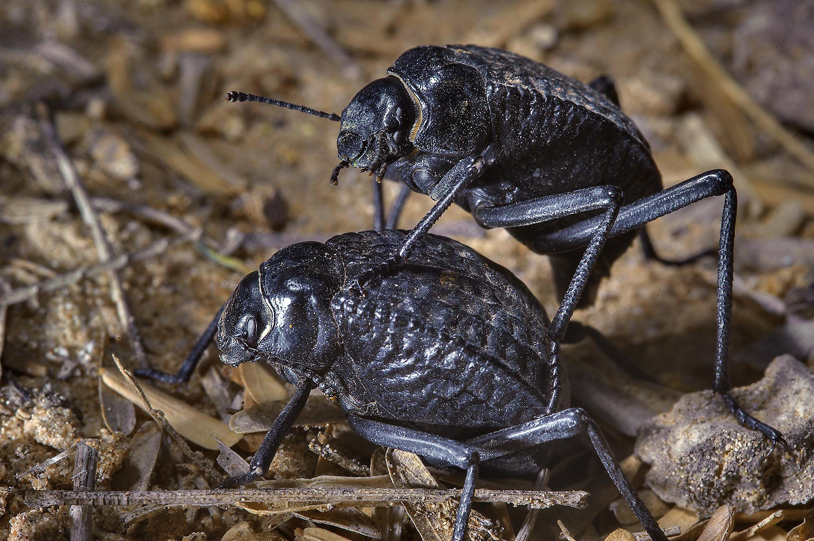 Mating pitted darkling beetles (Adesmia...in Trainah gardens. Southern Qatar