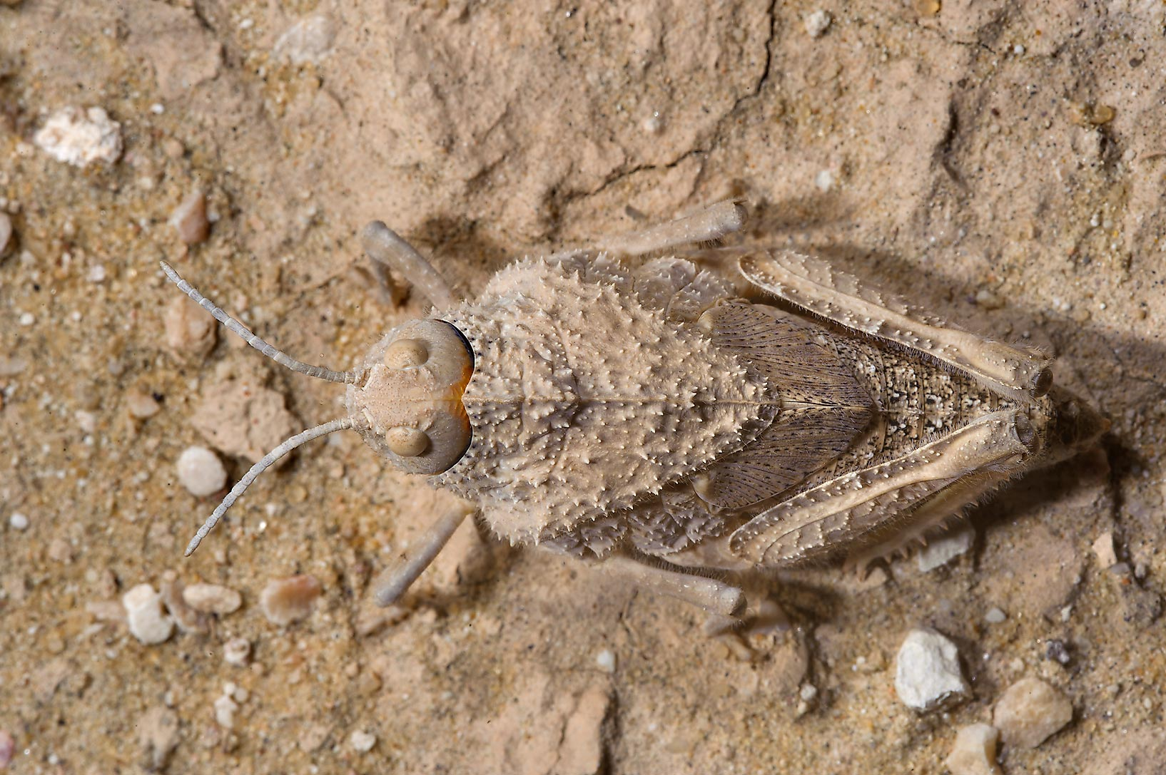 Squat shaped, camouflaged body of grasshopper...insignis near Harrarah. Southern Qatar